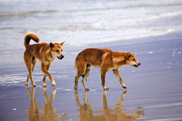 Article image for Fisherman hit with fines over Fraser dingoes