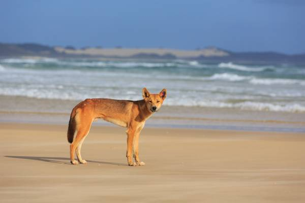 Article image for Dingo-proof fence announcement welcome news amid Fraser Island's tourism boom
