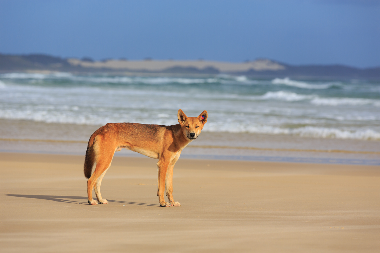 Dingo-proof fence announcement welcome news amid Fraser Island's tourism boom
