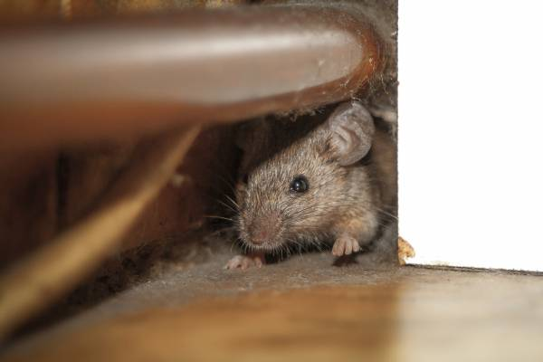 Article image for 'It is a worry': Fears over growing mice numbers near the border