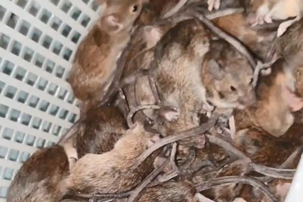 Listener shares sickening footage of mice overrunning home