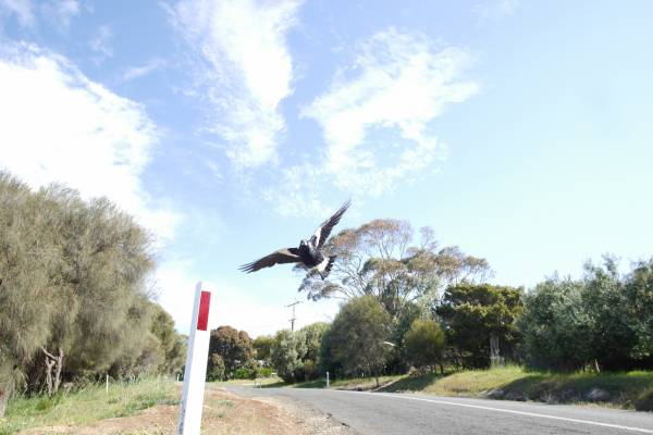 Article image for Why masks might set off magpies this swooping season