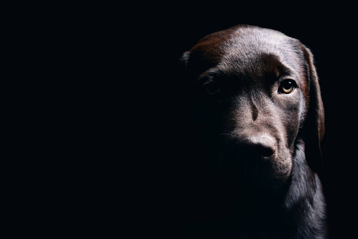 Article image for Disillusioned pet owners send puppies to the pound after 'insane' COVID surge